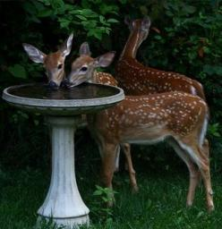 My parents always put water out in many spots in their yards for the deer and the birds--was so great to watch them come and visit these spots: Animals, Deer Drinking, Critter, Birdbaths, Bird Baths, Creatures, Wildlife