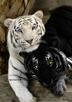 My wife is my life. Awesome couple..                                           ~peace~: White Tigers, Animals, Big Cats, Beautiful Animal, Bigcats, Black White, Wild Cats, Black Tigers
