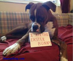 No other dog has the facial expressions a boxer does...it's great!: Funny Animals, Boxer Dogs, Easter, Funny Dogs, Amazing Dogs, Animal Boxer, Funny Dog Shaming, Boxers And, Canine Dogshaming
