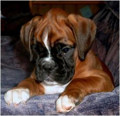 Oh my, that face!: Boxers Pets, Adorable Boxer, Baby Boxers, Dogs Boxers, Fawn Boxer Dogs, Boxers More, Boxers 3, Boxers ️, Lovable Boxers