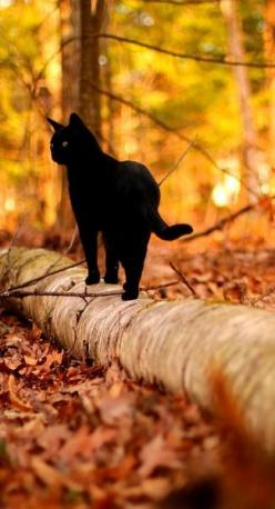 Or is it Fall? Either way, come prove your knowledge about this glorious time of year!: Animals, Black Kitties, Black Cats, Autumn Cat, Forest, Blackcats, Walk, Halloween