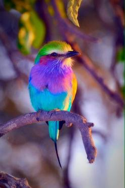 #PhotographySerendipity #Photography and #Travel from around the world.: Rollers, Colorful Birds, Beautiful Colors, Beautiful Birds, Animals Birds