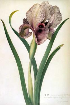 Picturing Plants and Flowers: June 2011: Botanical Prints, Botanical Illustrations, Art Botanical, Botanicals Prints Paintings, Irises, Ehret Flowers