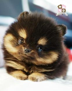 POMSKI - Pomeranian / Husky: Animals, Cuteness, Dogs, Pets, Puppys, Puppy, Adorable, Things, Pomeranian