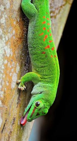 Pretty sure this little guy is going to end up on the nursery wall via my paint brush.: Animals, Color, Licking Gecko, Reptile, Lizards, Photo, Geckos