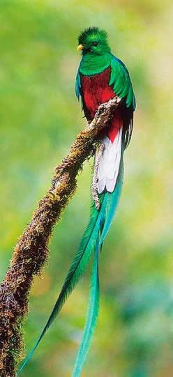 Quetzal- found in cloud forests.  I saw one of these in Costa Rica, but my picture was not this good :): Quetzal Bird, Costa Rica, Guatemala, Beautiful Birds, Resplendent Quetzal, Animal