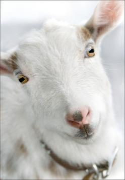 raw goat milk... my wife got me started on this several months ago. now i love the stuff, but it wasn't always like that. better than cow milk in ever way.: Farm, Cute Baby Animals, Dairy Goats, Cute Animals, Goats Livestock, Animal Goats Pigs Sheep,