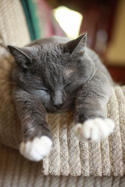 Sleepy grey kitty.. awwww: Grey And White Cat, Kitty Cats, Grey Cat, Animals, Cat Nap, Gray Cat, Adorable, Sleepy Grey, Chat