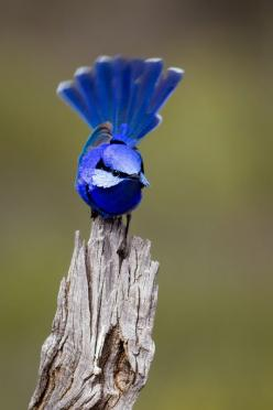 Splendid Fairy-wren (Malurus splendens)(Male), Australia: Blue Wren, Fairy Wrens, Animals, Fairies, Beautiful Birds, Blue Birds, Splendid Fairy Wren