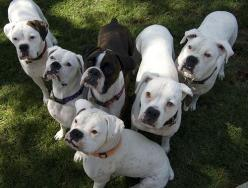 """The Boxer Rebellion White Boxers - I say: You don't know what boxer love is, till you get a sweet white boxer! Tragic as it sounds, as late as the 70's in US, vets and breeders often """"put down"""" white boxers as they could not be registered."""