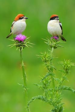 The Woodchat Shrike (Lanius senator): Animals, Nature, Woodchat Shrike, Beautiful Birds, Photo, Bird Watching