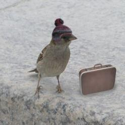 This bird is dressed and packed for a trip wearing the world's smallest hand-knitted pom pom hat :): Snow Birds, Bus, Headed South, Flying South, Snowbird, Birdie, Migrating Bird, Animal