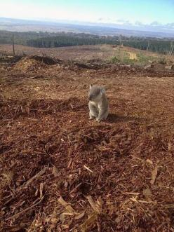 This is a real photo of a koala who just discovered his home had been cut down. - I don't mind, it's more important that the humans have somewhere nice to live. As far as I'm concerned, animals are more important than humans. *~❤•❦•:*´`*:•❦•❤~