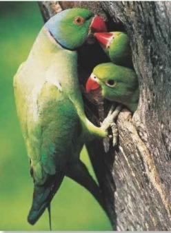 This is an Indian Ringneck parakeet.  It is actually a male (you can tell by the ring), feeding his babies.: Animals Birds Parrots, Indian Ringnecks, Parrots Birds, Ringnecked Parakeet, Baby, African Ringnecks, Ringneck Parrots, A Birds