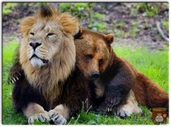 This lion and bear were confiscated from a drug dealer, along with a tiger friend. They are such good buddies that they are being allowed to stay together at a sanctuary.: Big Cat, Lion, Animals, Bears, Odd Couples, Amazing Animal, Animal Friendships