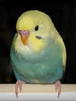 This lovely baby budgie appears to be a Cobalt Yellow Face Clearwing (very pale markings but full body colour and cheek patch colour) and I think it looks like it is a Dominant Pied also (a small yellow patch low on body and it looks like there are no mar