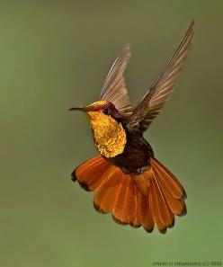 This would make a beautiful needlepoint!: Humming Birds, Topaz Hummingbird, Nature, Hummingbird, Hummingbirds, Animal