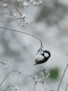 tiny #bird ~ Maine state bird, Chickadee: Animals, Sweet, Little Birds, Chickadee Dee Dee, Birdie, Beautiful Birds, Feathers