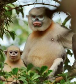 Tonkin Snub-Nosed Monkey  The tonkin snub-nosed monkey is endemic to Northeastern Vietnam, where there are fewer than 200 left. Heavy poaching and the destruction of habitat have diminished this monkey's population.: Tonkin Snub Nosed, Monkeys, Creature,