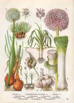 Vintage Vegetable Botanical Print, Food Plant Chart, Art Illustration, Wall Decor, Shallot, Garlic, Leek: Wall Decor, Botanical Illustrations, Vintage Botanical Prints, Vegetable Illustration, Vegetable Botanical, Plant Chart, Art Illustration