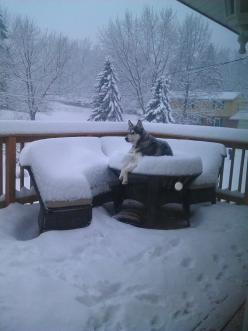 what snow? <-- this is exactly what my English Shepherd does! He LOVES snow!!: Pets Animals, Dogs, Winter, Siberian Husky, Huskies Animals, Snow, Funny, Siberian Huskies