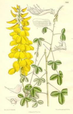 "William Curtis 1850's hand colored engraving ""Long-beaked Rattlebox"" (Crotalaria longirostrata): Botanical Illustrations, Botanical Art, Botanically Pleasing, Botanical Ii, Art Botanically"