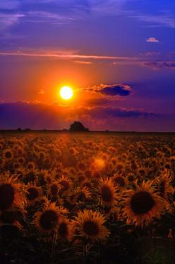 Wish you a restful sleep by *tomsumartin on deviantART: Nature, Sunsets, Field Of Sunflowers, Love Love Love Sunflowers, Beautiful, Sunset Sunflowers, Sunrise, Photo