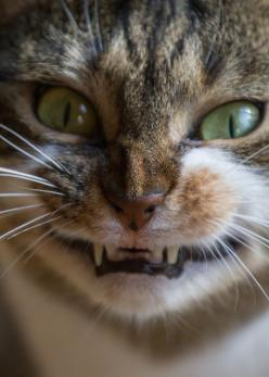 """""""Don't mess with me!"""": Cats, Animals, Meow, Funny Cats, Kitty Kitty, Crazy Cat, Cheese, Smile, Feline"""