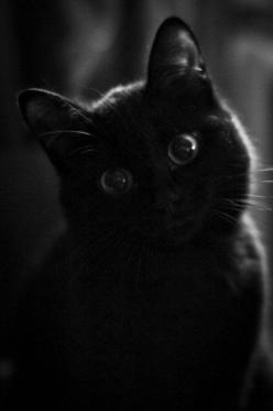 """I wish I could write as mysterious as a cat."" --Edgar Allan Poe: Cats Cats, Cats Katten, Beautiful Cats, Animal Cuteness, Black Cats, Avril Sblackcatcommunity, Poe Cats"