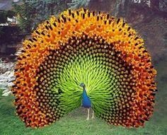 "⭐""Indian Peacock."" Hmmm ... almost looks like a sunflower photoshopped onto a peacock. I wonder ...: Peacocks, Animals, Nature, Color, Sunflower, Birds, Beautiful Peacock"