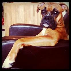 """""""So I was saying to Ralph the other day that we should go play a few rounds of golf.  ..... Honey, will you please bring me my pipe and slippers.""""  (boxer): Face, Chair, Boxer Dogs, Pet, Boxer I, Boxers 3, Boxer Looks, Boxer Sits, Animal"""