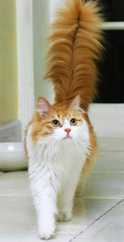 """Steppin' Out"" -- Her beautiful tail resembles one of those old fashioned feather ink pens!: Kitty Cats, Kitten, Animals, Beautiful Cats, Kitty Kitty, Tail"