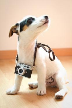 """""""Well, the lighting's pretty good here!"""" #dogs #pets #JackRussellTerriers Facebook.com/sodoggonefunny: Jack Russells, Jrts, Pet, Camera, Jack Russell Terriers, Jack O'Connell, Photo, Cute Dogs, Animal"""