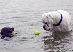 A white boxer dog had a one-in-a-million encounter, but lost his ball in the process. The dog got quite a surprise when he went into the sea to get his ball back. The dog was a few feet from shore on the coast of Scotland when a curious baby seal popped u