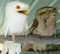 Albino tawny frogmouth. I swear, frogmouths are the most adorable birds ever.: Lifts, Albino Animals, Funny, Albino Tawny, Things, Tawny Frogmouths, Birds, Owls
