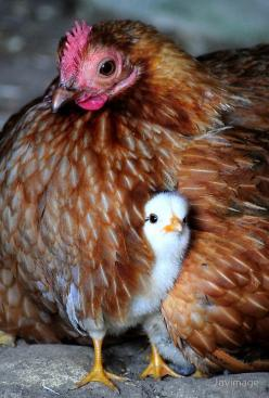 . Amazing World beautiful amazing: Farm Animals, Mothers, Country Living, Mama Hen, Birds, Baby Chicken, Baby Chicks