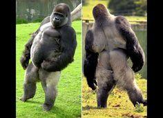 Ambam, a silverback gorilla at the Port Lympne Wild Animal Park in Kent, England, shows off the stance that's turned him into a viral video sensation. Ambam doesn't do the typical ape walk -- he stands and struts like a person.