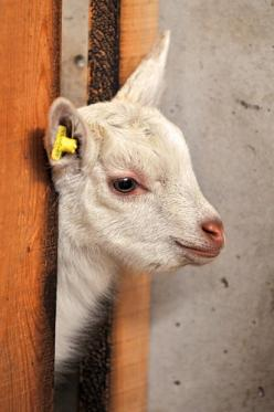 Baby goat: Farm Animals, Beloved Animals, Goats Cutest Barnyard, Baby Animals, The, El Día Viernessocial, Farmyard Friends, Baby Goats