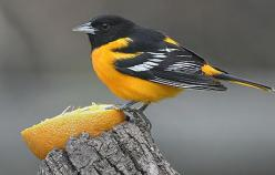 Baltimore Oriole - put out some oranges in the spring to attact them to your yard. mine have been coming back every year. they also love grape jelly. It's fun to watch the adults feed the babies at the feeder. show up end of April for me.: Orange, Bac