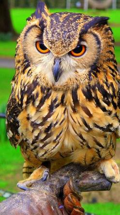 beautiful owl! Southern Utah's Exclusive Buyers Agent. https://www.facebook.com/MelindaGoodwinLuxuryRealEstateAgent: Birds Owls, Exclusive Buyers, Animal, Buyers Agent