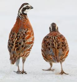 Bobwhite Quail...when I was a little girl, there were lots of quail on my Grandparent's old country place...my Dad use to call them 'quailey birds' when he would speak about them to me...a sweet memory!: Bobwhite Quail Currently, Bobwhite Quai