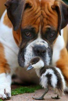 Boxer and duckling