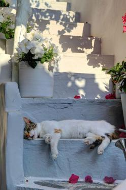 "* * CAT THOUGHT: "" Someones left rose petals around meez, thinkin' I wuz a dead kitteh.  How'z nice of dem."": Cats, Animals, Cat Nap, Pet, Greece, Chat, Kitty, Photo"
