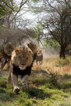 charging lions..if you've ever been near a lion when it roars then you know true fear! They are seriously big and strong!: Big Cats, African Lion, Bigcats, Wild Cats, King, Male Lion, Charging Lions, Running Lion, Animal