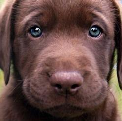 Chocolate lab: Face, Animals, Puppies, Dogs, Chocolates, Chocolate Labs, Pets, Puppys, Eyes