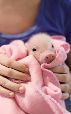 @Christina Childress Childress & Robertson : Cute : Pig in a Blanket: Piggie, Animals, Pet, Teacup Pigs, Baby Pigs, Pigs In A Blanket, Piggy, Piglet