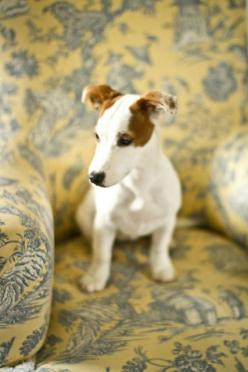 Cléo, the jack russel puppy 5 by Making Magique, via Flickr: Jack Russells, Jack Russel Dogs, Animals Pets, Dogs Jack Russell, Animals Dogs, Jack Russell Dogs