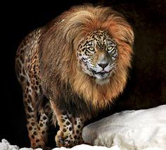 Creative Photograhy.  Wish they existed!  Gorgeous! Extremely rare Panion ... by Klaus Wiese, via 500px: Lion, Panion I, Big Cats, Rare Panion, Wild Cats, Rare Animals, Leopard