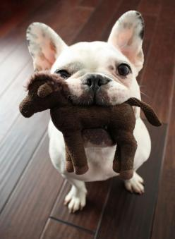Cutie!: Animals, French Bulldogs, Pets, Horse, Play, Frenchbulldog, Puppy, Frenchie, Friend