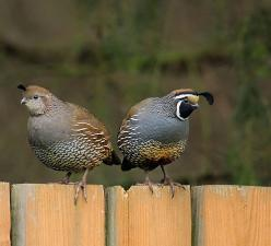 ever see a quail run? it's probably the cutest thing ever.: Birds Grouse Partridges, Farm Animals, Hunting Fishing Wild Game, Quail Animals, Birds Quail, Beautiful Birds, Barn Tack Rm